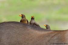 Yellow-billed Oxpeckers on a Buffalo