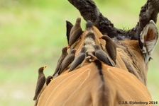 Yellow-billed Oxpecker on a Western Giant Eland Antelope