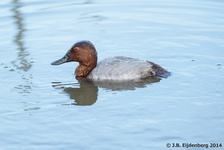 Male Common Pochard