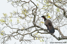 Chestnut-Bellied Guan