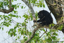 Black-and-Gold Howler Monkey