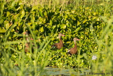 Black-Bellied Whistling Duck