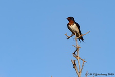 Red-Chested Swallow